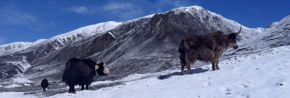 Yak in the Nepalese Himalaya